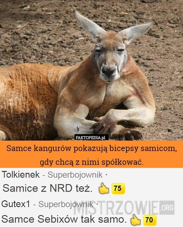 Kangury –>